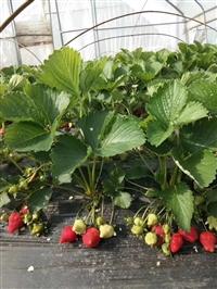 草莓苗 草莓苗基地 草莓苗种植基地 草莓苗出售基地