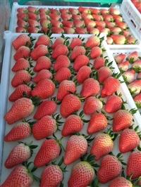 草莓苗 草莓苗基地、草莓苗批发、草莓苗价格_母株