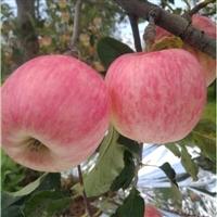 苹果苗 鲁丽苹果苗,苹果新品种,优质苹果苗供应厂家