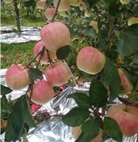 苹果苗 鲁丽苹果苗基地 鲁丽苹果苗 鑫利源农业苹果苗繁育基地