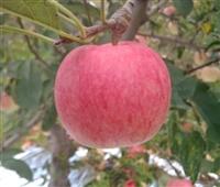苹果苗采购批发市场 优质苹果苗价格/品牌/厂商
