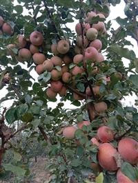苹果苗 苹果苗批发_苹果苗价格_苹果苗产地