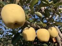 苹果苗 苹果苗木_红肉苹果树苗价格_苹果苗木批发