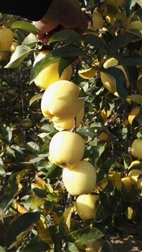 苹果苗  华硕苹果苗  鲁丽苹果苗  维纳斯黄金苹果苗