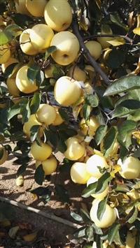 苹果苗 苹果实生苗 矮化苹果苗 柱状苹果苗 苹果树苗价格