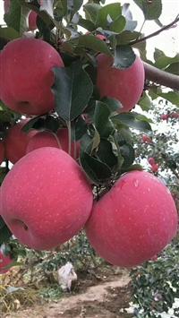 苹果苗 苹果树苗价格-矮化苹果树苗-苹果苗新品种_苹果苗价格