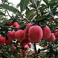 苹果苗 山东苹果种植基地 山东泰安苹果 苹果苗苗木基地