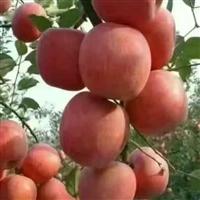 苹果苗 华硕苹果苗 鲁丽苹果苗 红富士苹果苗 维纳斯黄金苹果苗
