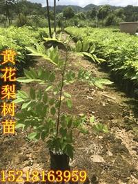 供应黄花梨树苗种植、广东黄花梨树苗基地批发