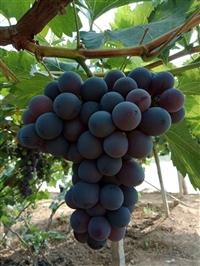 脆光葡萄葡萄苗