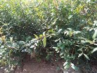 石榴苗 软籽石榴树苗价格 突尼斯软籽石榴树苗