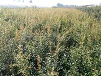 软籽石榴树苗价格-突尼斯软籽石榴树苗-软籽石榴苗基地