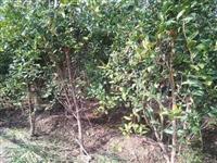 突尼斯软籽石榴苗 石榴种苗价格 石榴种苗批发 石榴种苗厂家