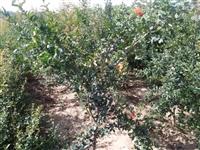 石榴苗  软籽石榴 ,泰山红石榴苗 石榴苗基地
