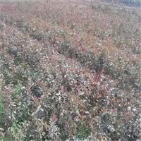 紫薇 青州百日红 露天栽培 球形红色系紫薇现货供应