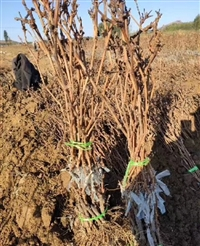 葡萄苗种植基地  葡萄苗批发基地  葡萄苗育苗基地