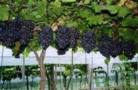 葡萄苗 葡萄苗供应 优质葡萄品种 葡萄树苗批发