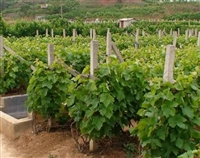 葡萄苗 出售葡萄苗 葡萄苗价格 红提葡萄苗基地 夏黑葡萄苗