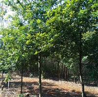 昊天 木荷小苗种植 当年生木荷小苗 量大优惠