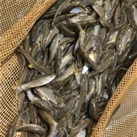 青竹鯇魚苗養殖 純養光倒刺鲃魚 已馴化軍魚苗 生長快