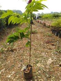 湛江黄花梨树苗、茂名黄花梨树苗、高州黄花梨树苗种植基地批发