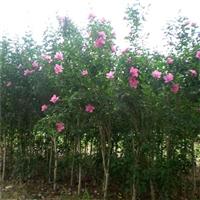 泰安木槿树苗价格
