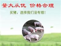 山东苗猪价格 提供全程的技术指导