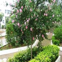 出售木槿树苗 3公分木槿树苗价格 4公分木槿树苗价格