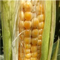 特喜农业 爆米花专用玉米 基地销售 爆米花玉米