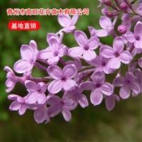 紫丁香苗种植基地  常绿灌木花卉 紫丁香供应