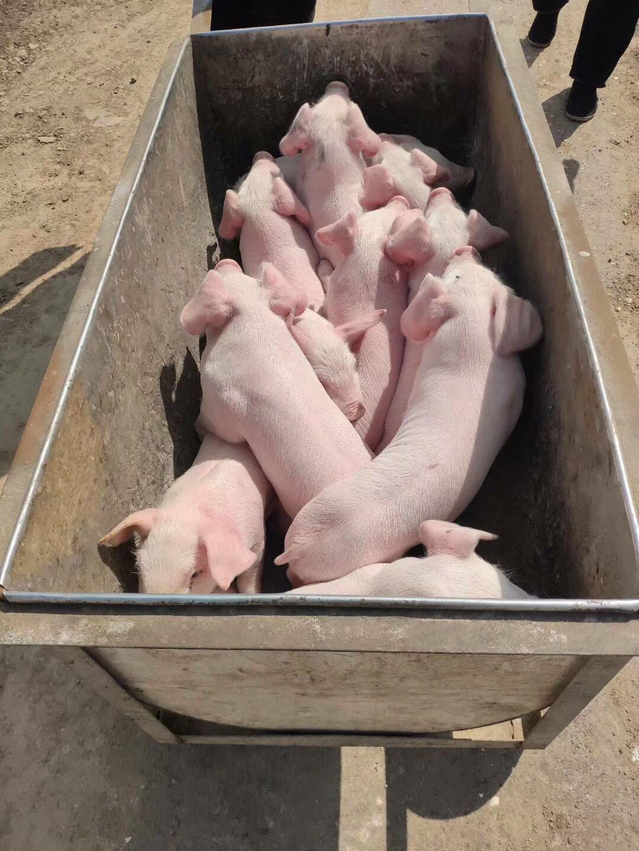 遂宁养猪场猪苗 遂宁种猪场价格 小猪价格下降