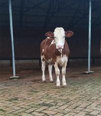 江西省肉牛养殖基地 500斤西门塔尔牛价格