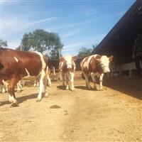 云南省养牛基地 6个月西门塔尔牛小牛犊价格