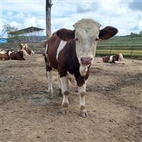 江苏省养牛基地 6个月西门塔尔牛小牛犊价格