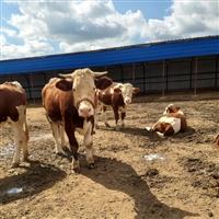 河南省养牛基地 西门塔尔牛犊小母牛价格