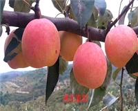 玉露香梨品种介绍 玉露香梨成熟期