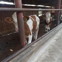 浙江省肉牛养殖基地 2020年西门塔尔肉牛价格