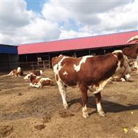 湖北省养牛基地 2020年西门塔尔肉牛价格