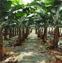 深圳金粉1号香蕉苗 香蕉杯苗 求购二级香蕉苗