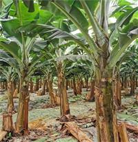 广粉香蕉苗 广粉香蕉苗 苗场直发丰盛巴西香蕉苗