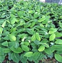 大棚香蕉苗 粉蕉香蕉苗 基地批发粉蕉袋苗