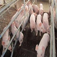 长白仔猪 长白仔猪批发  仔猪近期价格 品种齐全成活率高繁育中心