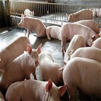 长白仔猪 长白仔猪批发  福建仔猪价格 猪型优质近期行情价格