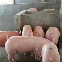 长白仔猪 长白仔猪批发  湖北仔猪价格 大型养猪场可以先试样15天