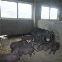 河南二元种母猪出售 四蹄白母猪出售