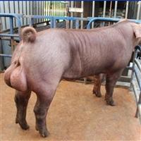 富源牧业 黑猪苗  黑猪养殖 提供免费培育技术