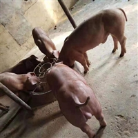 富源牧业 黑猪苗  苗猪报价  养殖场