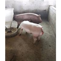 富源牧业 黑猪苗  高产黑母猪 养殖场