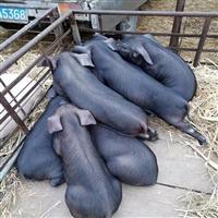 富源牧业 黑猪苗 长白母猪 量大从优