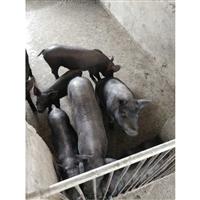 富源牧业 黑猪苗 30斤苏太母猪 量大从优
